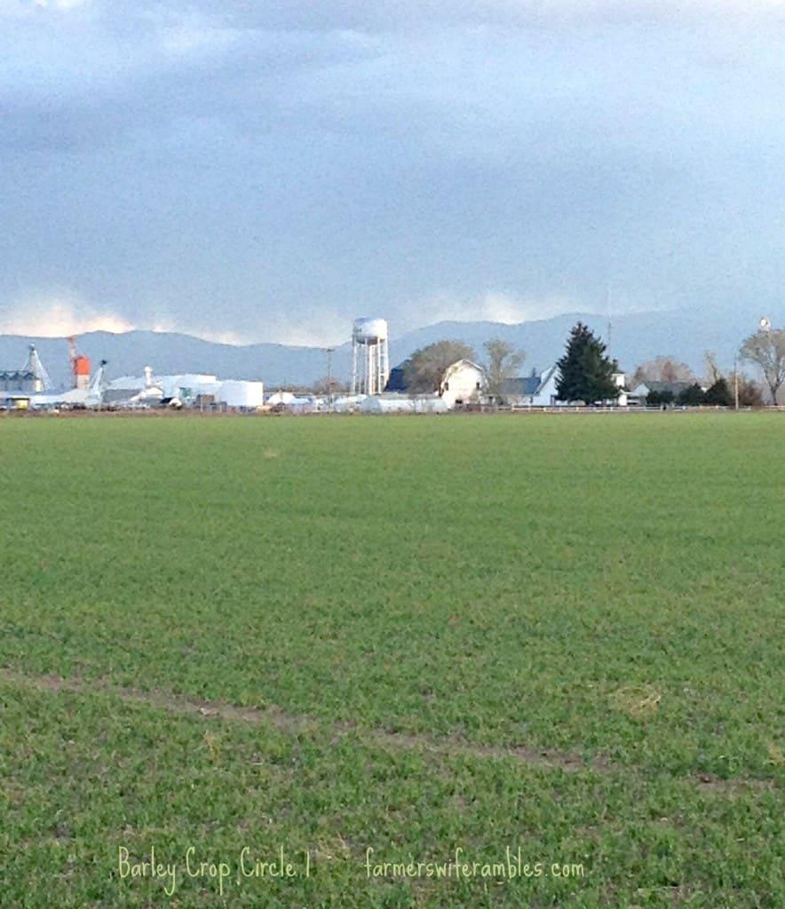 Barley Crop May 2013