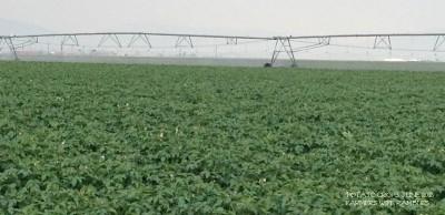 Potato Crops July 2013