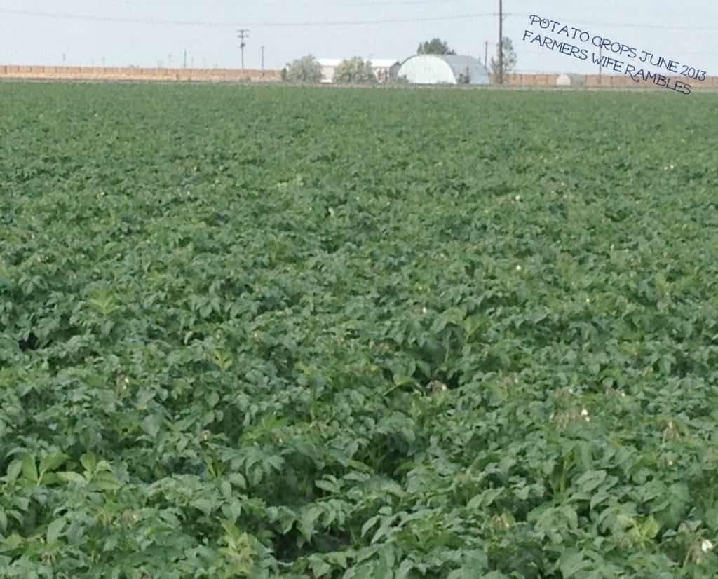 Potato Crops 2