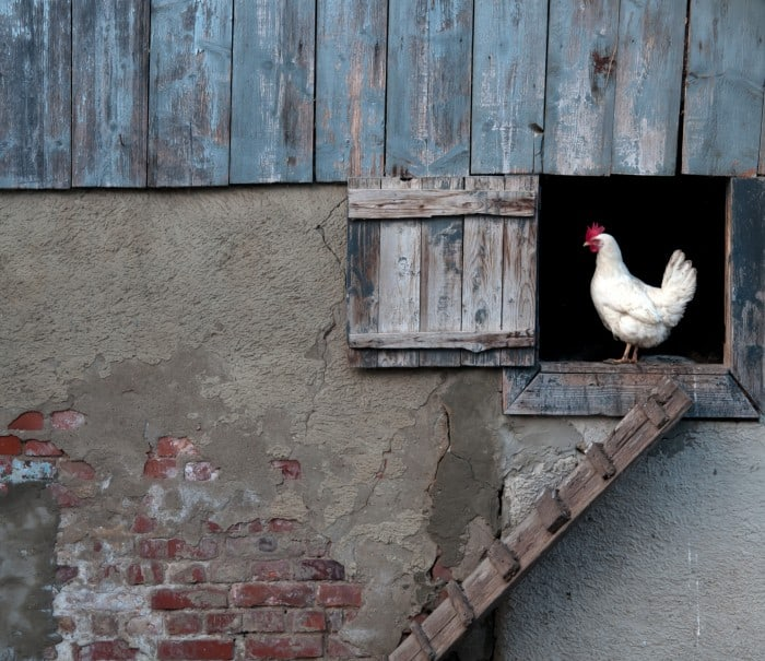A Quick Guide to Keeping Backyard Chickens